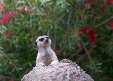 Meerkat som når en höjdpunkt ut ur ett hål vaggar in Arkivfoto