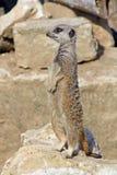 Meerkat som ser alert Arkivbild
