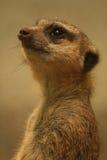 Meerkat som ser upp Royaltyfri Bild