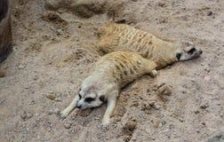 Meerkat som sover på golvet Royaltyfri Fotografi