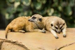 Meerkat som vilar på jordning Arkivfoto