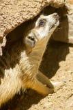 Meerkat sotto roccia Fotografie Stock Libere da Diritti