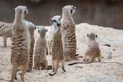 Meerkat with space of sand Stock Photos