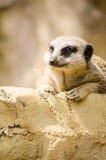 Meerkat Spenslig-Tailed den ensamma vertikala ståenden för mungor Fotografering för Bildbyråer