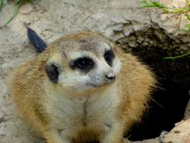 A Meerkat Squatting hole edge Stock Images