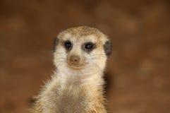 Meerkat stående Royaltyfri Fotografi