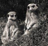 Meerkat stad Royaltyfria Bilder