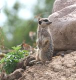 A meerkat on stake out. Royalty Free Stock Photo