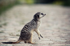 Meerkat stand. On legs in rock road Stock Photography
