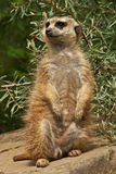 Meerkat stand guard Stock Photo