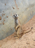Meerkat stand and looking Stock Images