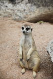 Meerkat stand on sand Stock Images
