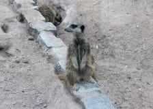 Meerkat. Stand stone stock photo