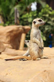 Meerkat stand up Royalty Free Stock Photos