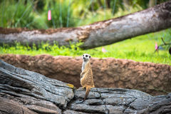 Meerkat. Stand-up Meerkat on the wood Royalty Free Stock Image