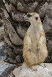 Meerkat standig戒备 免版税库存照片