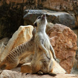 Meerkat standing Royalty Free Stock Photo