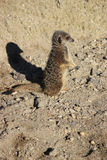 Meerkat standing Royalty Free Stock Photos