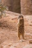 Meerkat standing Royalty Free Stock Image