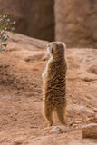 Meerkat standing Stock Photos