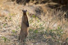 Meerkat standing Royaltyfri Foto