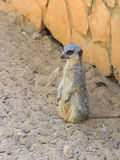 Meerkat standing afternoon on sand under the sun Stock Images