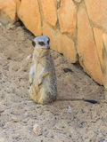 Meerkat standing afternoon on sand under the sun Royalty Free Stock Photos