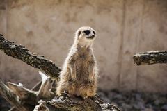 Meerkat standing alone Royalty Free Stock Photos