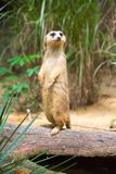 A Meerkat standing on a branch guarding its territory. Male meerkats are responsible for sentry duty, taking turns to keep watch while the others forage. a Stock Images