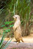 A Meerkat standing on a branch guarding its territory. Male meerkats are responsible for sentry duty, taking turns to keep watch while the others forage. a Stock Image