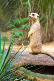 A Meerkat standing on a branch guarding its territory. Male meerkats are responsible for sentry duty, taking turns to keep watch while the others forage. a Stock Photography