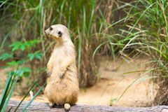 A Meerkat standing on a branch guarding its territory. Male meerkats are responsible for sentry duty, taking turns to keep watch while the others forage. a Royalty Free Stock Photos