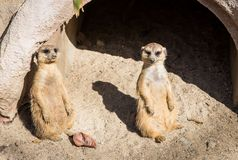 Meerkat standing. In front of tunnel royalty free stock photography