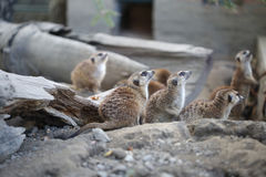 Meerkat Standing In Group and Watching Around Stock Images