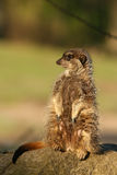 Meerkat standing guard Royalty Free Stock Image