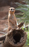 Meerkat Standing Guard Royalty Free Stock Photos