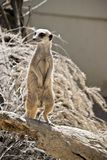 Meerkat on guard. The meerkat is standing guard for his clan stock photo