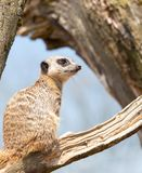 Meerkat standing guard. On a tree branch royalty free stock photos