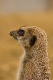 Meerkat standing guard Royalty Free Stock Photo