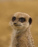 Meerkat standing guard Stock Photography