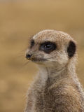 Meerkat standing guard Stock Images