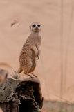 Meerkat Standing Guard on a Rock Stock Image