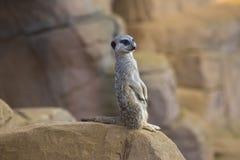 Meerkat 1 Stock Image