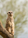 Meerkat standing guard Stock Photo