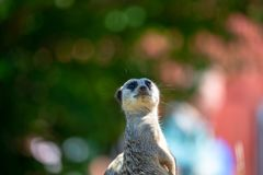 Meerkat standing half body portrait. Against the green blue and pink blurred background stock photos