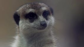 Meerkat standing and keep watching for hunter stock footage