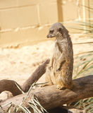 Meerkat Standing on Log Looking Left Stock Photo