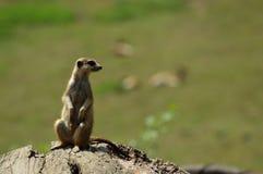 Meerkat standing and looking. Aroud herself in the zoo stock images