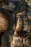 Meerkat standing and looking. To the side royalty free stock image
