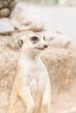 Meerkat standing Stock Images